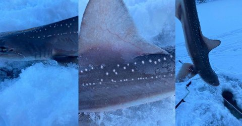 Denne hvitflekket glatthai ble tatt på krok på isen i Yrkjefjorden.