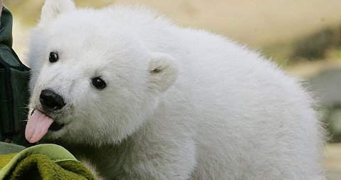 FILMSTJERNE: Dokumentaren om isbjørnen Knut hadde premiere i Tyskland denne helgen.