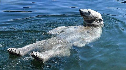 AVKJØLING: En isbjørn avkjølte seg i dyrehagen i Gelsenkirchen i Tyskland onsdag.