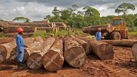 2-300 år gamle stokker fra truede afromosiatrær blir hentet ut av regnskogen i Kongo, for deretter å ende som parkett og møbler i Europa.