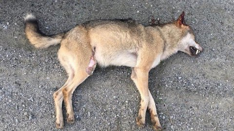 Det var denne ulven som i natt ble påkjørt iSkiptvet.