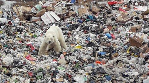 På søppeldynga: Isbjørnen ble sett gående rundt på søppeldynga i Norilsk i Russland.