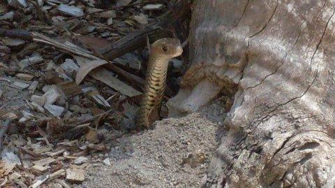 Det er en brunsnok av denne typen som skjuler seg på bildet nedenfor. Vi kan avsløre at den titter opp fra bakken på samme måte. Slangen er ekstremt giftig, og var synderen bak 15 av 19 dødsfall i Australia mellom 2005 og 2015.