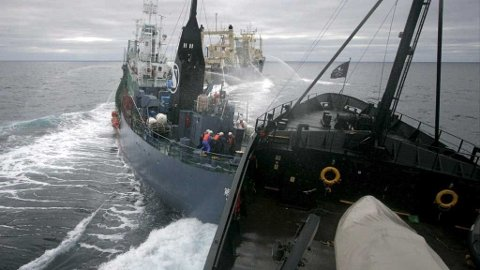 epa01625538 A handout photograph supplied by the institue of Cretacean Research on 06 February 2009 showing Sea Shepherd's ship, the Steve Irwin colliding with the stern of Japanese harpoon whaling ship, the Yushin Maru No. 2 while factory ship the Nisshin Maru (background) processes a newly caught minke whale in the Ross Sea off Antarctica on 06 February 2009. Captain Paul Watson, from the Sea Shepherd Conservation Society, said his ship, the Steve Irwin, was forced to hit the Japanese ship Yushin Maru No. 2. EPA/ADAM LAU / HO EDITORIAL USE ONLY EDITORIAL USE ONLY