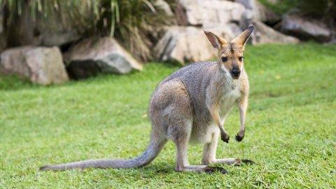 SKIPPY: Denne lille krabaten kan havne på tallerknen din i Australia.