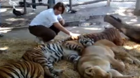 Løve klappe Lujan Dyrepark