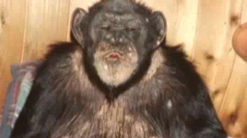 Ape Beroligende Farlig