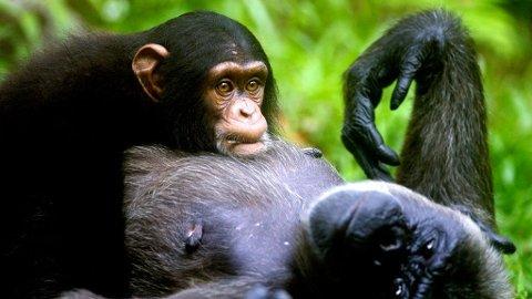 Sjimpanser scorer høyere enn mennesker i hukommelse og fokus, viser en test.