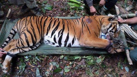 TRUET KJEMPE: Skadet tiger på båre i jungelen.