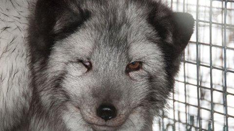 FRA AKSJONISTENE: Bildet av reven med øyebetennelse er tatt i helgen på en pelsdyrfarm i Gudbransdalen, sier aksjonistene.