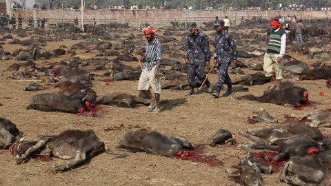 SLAKTES I TUSENVIS: Dyrene ofres ved halshugging, dette skal gi hell og lykke for de troende.
