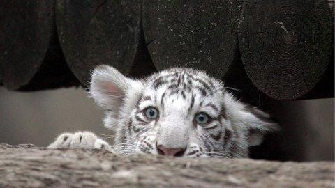 REDDHARE: Dette er ikke en av de redde tigrene fra Kina, men en litt skremt tigerunge fra dyreparken i Moskva.
