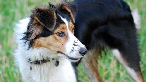 REKORDVALPEN: Lizzie er valp nummer 30 000 og med på å sette rekord. Hun er også en lovende gjeterhund.