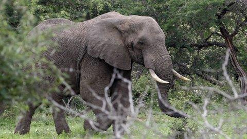 ILLUSTRASJON: Afrikansk elefant i en nasjonalpark i Sør-Afrika.