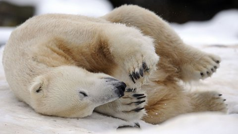 SÅNN JA: Knut ruller og leker seg i snøen. Endelig isbjørvær!