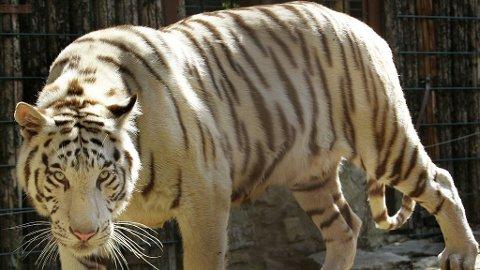 ILLUSTRASJON: Dette er ikke tigeren som drepte eieren sin i Kanada, bildet er fra en tysk dyrepark.