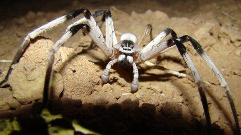 DIGER: Den nye edderkoppen er den største som noen gang er funnet i Mitdøsten.