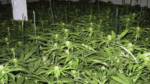 Denne marihuanaen dyrkes innendørs i Humboldt.