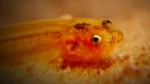 Candiru er parasittfisken du ikke har lyst å komme i nærkontakt med.