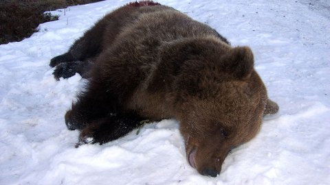 Denne bjørnen angrep en mann i skogenved Skattungbyn utenfor Orsa i Dalarna onsdag formiddag. Mannen, som arbeidet i skogen da bjørnen angrep, ble kraftig bitt i armene, bena og i hodet