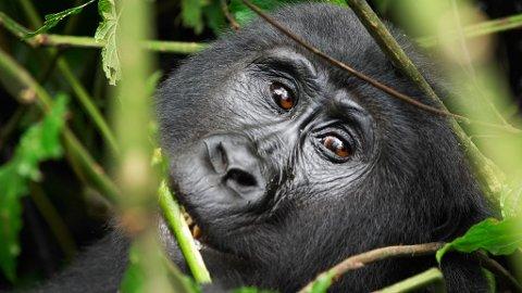Den store fjellgorillaen er et viktig mål for besøkende i det sentralafrikanske landet, Uganda.