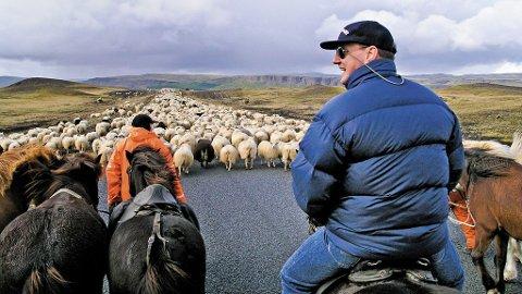 Vær en moderne cowboy på vei med saueflokken din på Island.