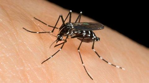 Denne myggen tar blant annet med seg sykdommen dengue.
