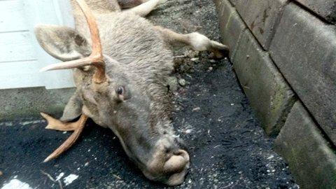 AVLIVET: Til slutt klarte viltnemnda å ta livet av elgen.