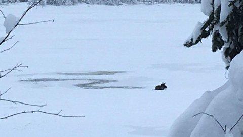 GIKK GJENNOM ISEN: En elg gikk gjennom isen søndag morgen.