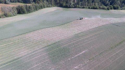 TØRKE: Kornåkeren til bonde Dag Fossen på Skollenborg i Buskerud er hardt rammet av tørken.