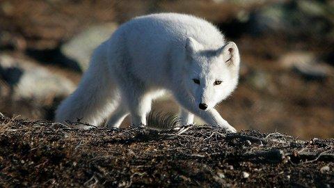 Rabies er påvist i tre nye døde fjellrever på Svalbard. Det er nå påvist rabies i fire rever og ett reinsdyr i området siden begynnelsen av mai. Illustrasjonsfoto: Gorm Kallestad / NTB SCANPIX