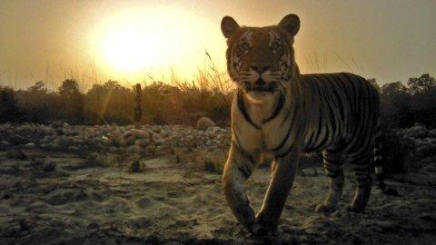 NESTEN DOBLET: Tigerbestanden i Nepal øker.