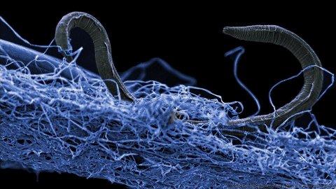 BOR LANGT NED: Denne rundormen lever 1,4 kilometer under jordoverflaten.