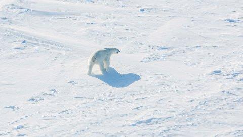 LIVSFARLIGE DYR: Isbjørner er blitt en fare for folk på Novaja Zemlja.