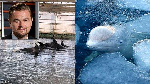 FANGET: Disse hvalene har vært holdt i fangenskap i Russland i lang tid. Leonardo Dicaprio har engasjert seg i saken.