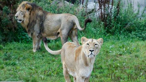 SPIST: En mistenkt krypskytter ble spist av en løveflokk i Kruger nasjonalpark i Sør-Afrika. Løvene som er avbildet er fra Aalborg Zoo i Danmark.