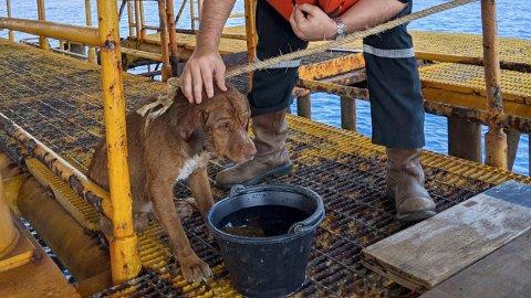 220 KILOMETER FRA LAND: Denne hunden ble oppdaget av thailandske oljearbeidere, svømmende mer 220 kilometer fra land.