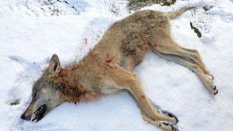 Denne ulvetispa ble skutt i Rendalen tirsdag morgen, 7. mai.