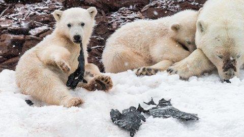 TRIST SYN: Dette bildet tok fotograf Olav Thokle da han var på Svalbard sommeren 2018. - Plastposen ble fort revet i biter, før den havnet ned i de små bjørnemagene, fortalte han.