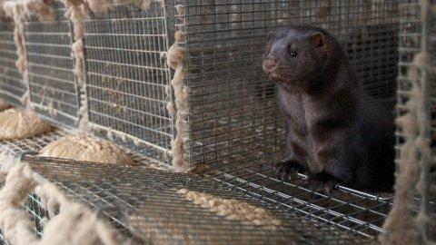 Pelsdyrnæringen skal avvikles i Norge, og nå vil Venstre også forby import av pels. Foto: Alf Ove Hansen / Scanpix