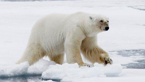 En mann har fått bot etter å ha forstyrret en isbjørn. Illustrasjonsfoto: Håkon Mosvold Larsen / Scanpix