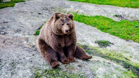En brunbjørn fotografert i Bjørneparken i Flå. Illustrasjonsfoto: Stian Lysberg Solum / NTB scanpix