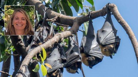 VIRUSBÆRERE: Disse flygehundene er fotografert i Australia. I Nepal er slike hunder kilde til et dødelig virus som overføres til husdyr. Virusforsker Tracey Goldstein advarer om at antallet smitteveier har økt med klimaendringer som bringer ulike dyr, og mennesker og dyr, nærmere hverandre. Foto: Paul Kleiven / NTB scanpix /Linkedin