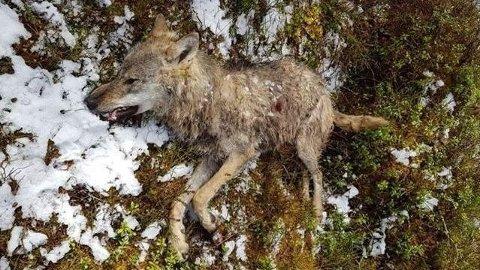 SKUTT: En ulv har blitt skutt i Søndre Land lørdag formiddag.