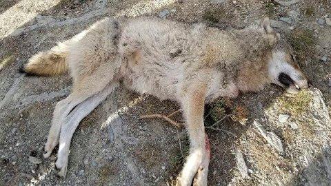 Denne ulven, en hannulv på mellom 40 og 50 kilo. ble onsdag ettermiddag felt i Kvamsfjellet i Nord-Fron kommune i Gudbrandsdalen. Foto: Statens naturoppsyn / NTB scanpix