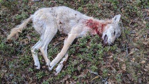 En ulvetispe ble skutt i Tynset torsdag ettermiddag.