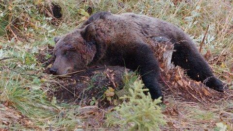 ETTERFORSKER: Politiet skal etterforske tips om at bjørn blir jaget til Sverige for å bli skutt der. Her har en bjørn blitt skutt i Alvdal.