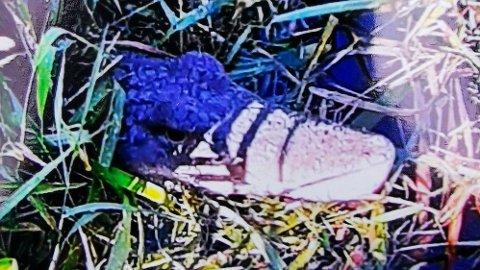 Denne krokodillen ble oppdaget i en elv i Tyskland.