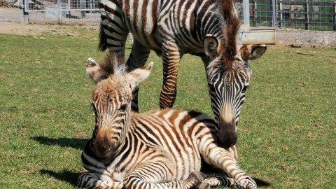 Den åtte måneder gamle sebraen Hope døde etter å ha angivelig blitt skremt av fyrverkeri.
