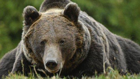 BJØRNEFAR: Romania er blant landene i Europa med flest brunbjørner. Her fra Tusnad i Centru-regionen i Romania. Arkivfoto: Daniel Mihailescu / AFP